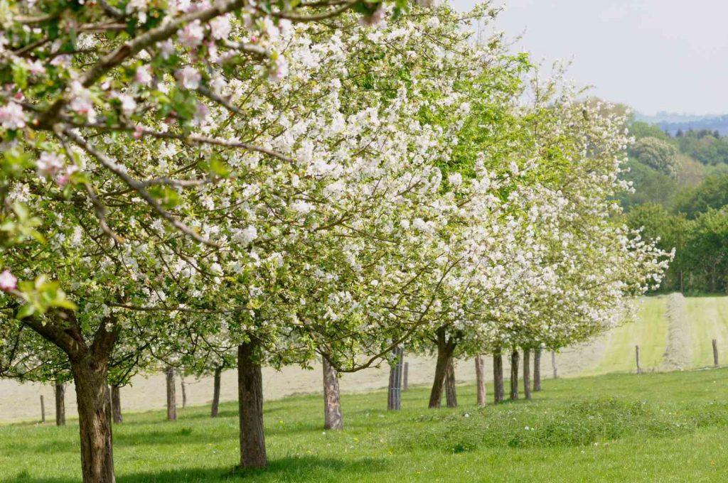 Domaine de Merval à Brémontier-Merval en Pays de Bray - Pommiers en fleur