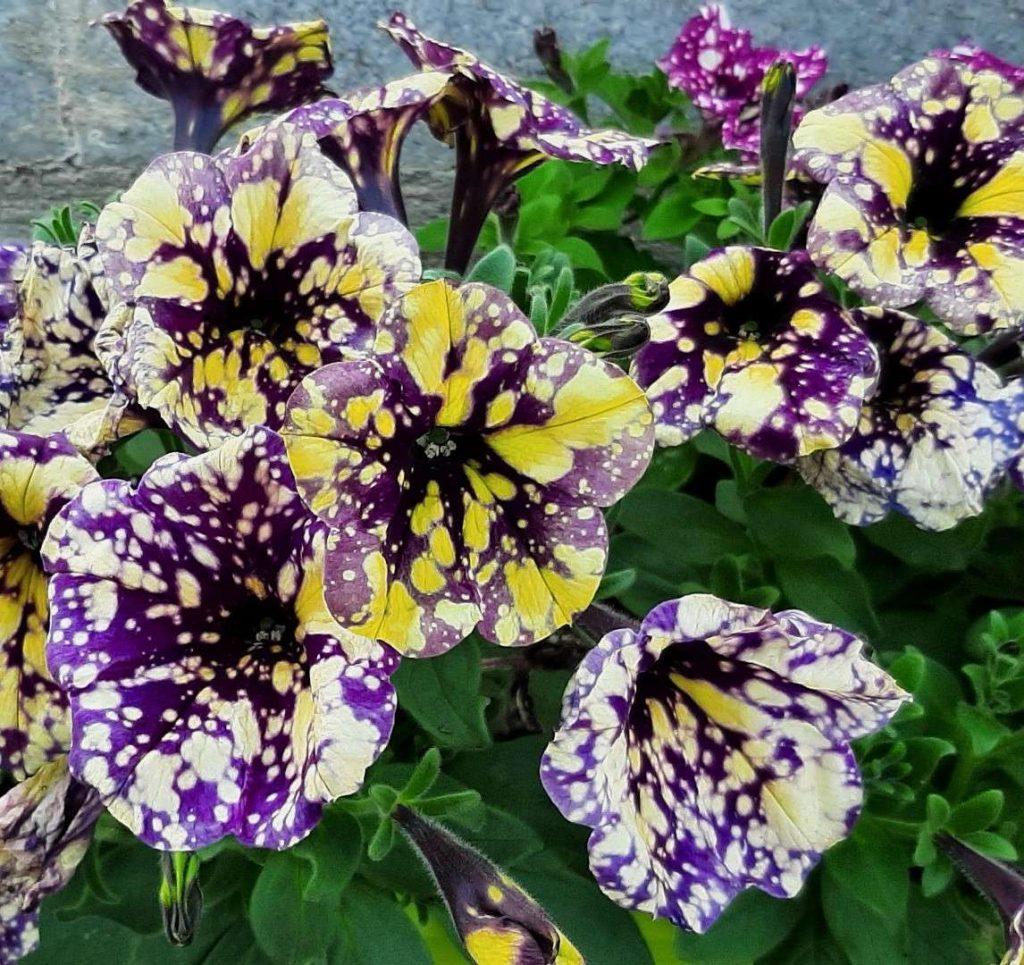 Petunia de Xena Floral à Elbeuf-en-Bray