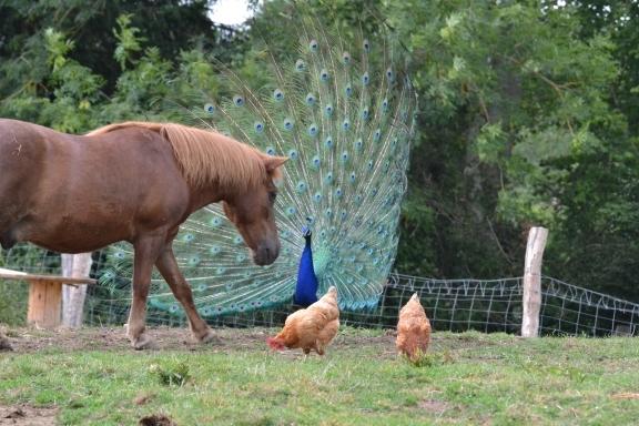La P'tite Bray'tagne avec cheval et paon